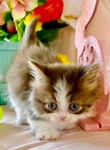 brown tabby/white minuet girl